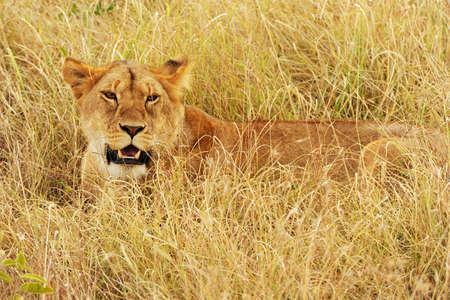 A lion (Panthera leo) on the Masai Mara National Reserve safari in southwestern Kenya. photo