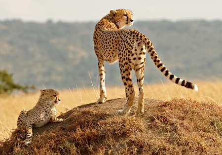 cheetah cub: African Cheetahs  Acinonyx jubatus  on the Masai Mara National Reserve safari in southwestern Kenya