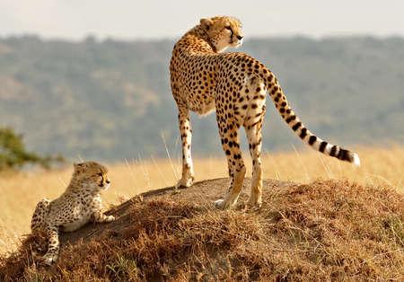 guepardo: Guepardos africanos Acinonyx jubatus en el Masai Mara safari de reserva nacional en el sudoeste de Kenia