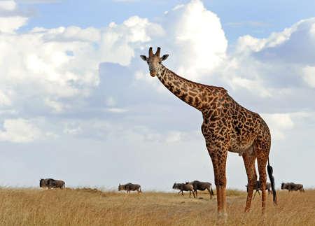 An African Giraffe Giraffa camelopardalis  on the Masai Mara National Reserve safari in southwestern Kenya  photo