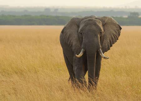 herbivore natural: An African Elephant  Loxodonta africana  on the Masai Mara National Reserve safari in southwestern Kenya