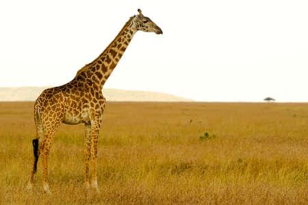 ungulate: An African Giraffe Giraffa camelopardalis  on the Masai Mara National Reserve safari in southwestern Kenya