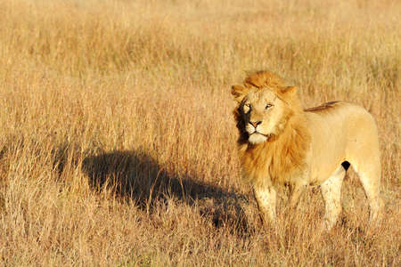maasai mara: Un leone (Panthera leo) sul Masai Mara National Reserve safari nel sud-ovest del Kenya.