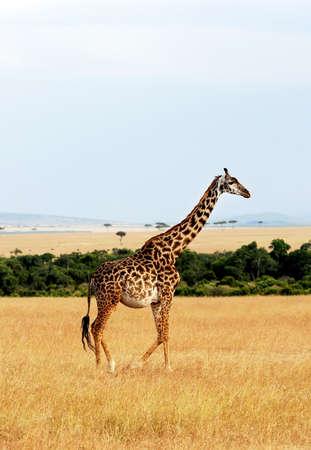 maasai mara: Giraffa (Giraffa camelopardalis) su Masai Mara National Reserve safari in Kenya sudoccidentale.