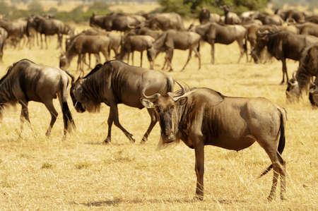taurinus: African Wildebeests (Connochaetes taurinus) on the Masai Mara National Reserve safari in southwestern Kenya.