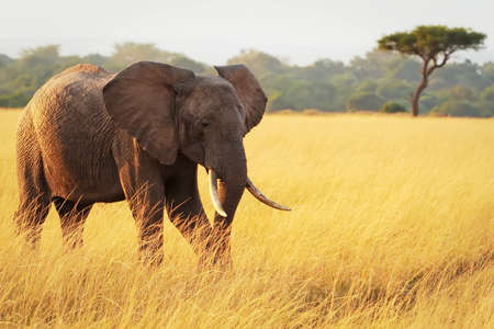 An African Elephant (Loxodonta africana) on the Masai Mara National Reserve safari in southwestern Kenya.
