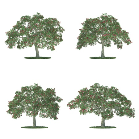 erythrina: erythrina trees collection isolated on white