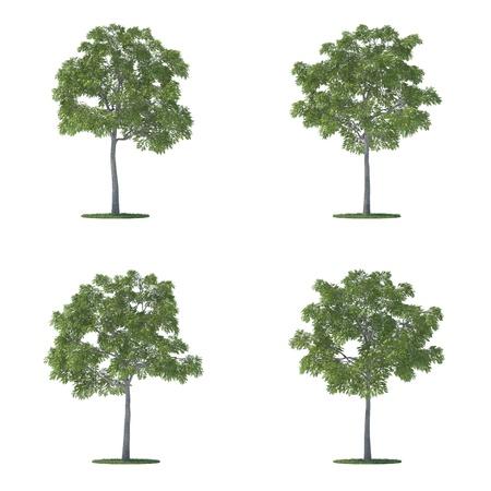 Juglans nigra bomen collectie geïsoleerd op wit Stockfoto - 9450863