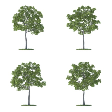 front view: juglans nigra trees collection isolated on white