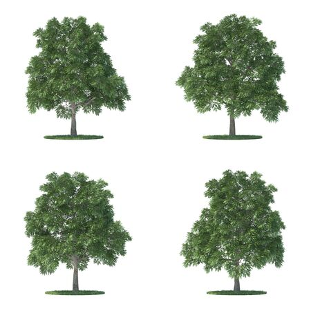 sassafras trees collection isolated on white