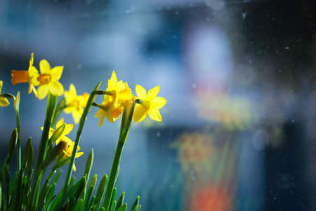 Yellow narcissus flower or daffodil in a closeup view photo