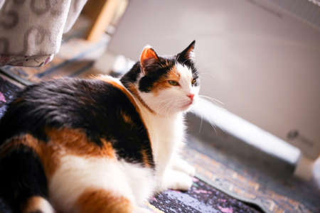 Fat calico cat with a sad face in a closeup view indoor. photo