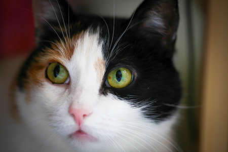 calico cat: Fat calico cat with a sad face in a closeup view indoor.