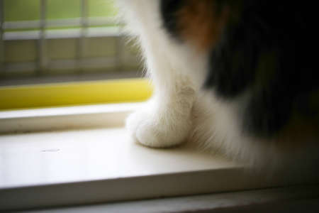 calico whiskers: Fat calico cat paw Stock Photo