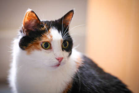 calico whiskers: Fat calico cat with a sad face in a closeup view indoor.