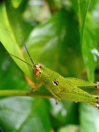 Grasshopper on a a  branch