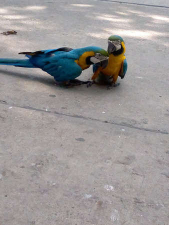 Two macaw parrots playing on the floor