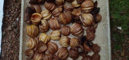 semi sun dried Garcinia cambogia ,alos know as malabar tamarind or kudam puli Stock Photo