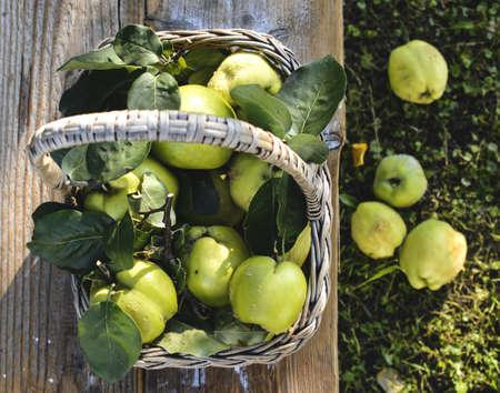 quinces: Basket with quinces Stock Photo