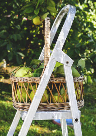 quinces: Basket of quinces on ladder Stock Photo