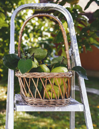 quinces: Quinces in basket on ladder Stock Photo