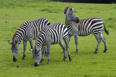 Three zebras on a green grass photo