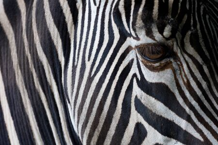 Closeup of a zebras head photo