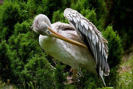environmen: Pelican