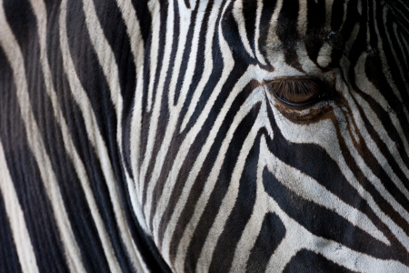 Zebra closeup photo