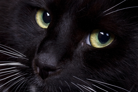 Black domestic cat s face closeup photo