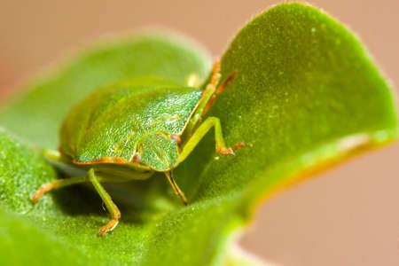palomena: Green stink bug Palomena prasina