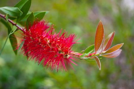 callistemon: Flower of callistemon laevis closeup.