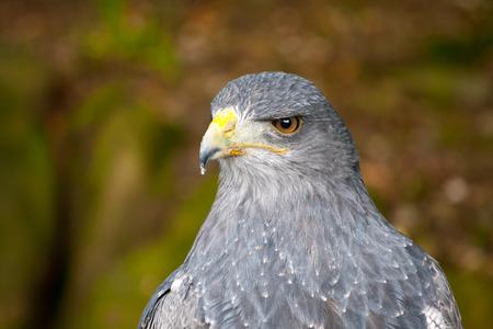 zopilote: Negro-de pecho del águila ratonero Foto de archivo