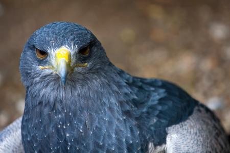 species living: Buzzard eagle - geranoaetus melanoleucus