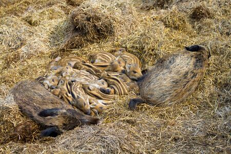 Family of wild pigs with babies laying on a hay.