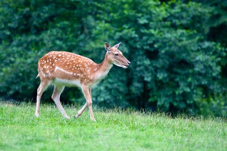 sika deer: Walking sika deer - Cervus nippon.