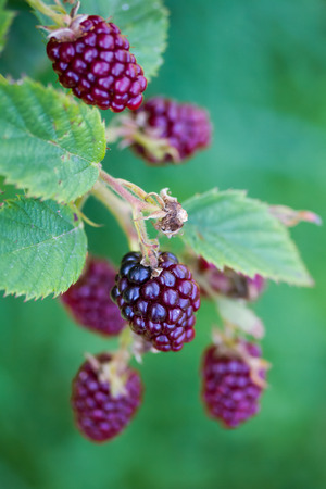 Closeup of blackberries on a twig Stock Photo