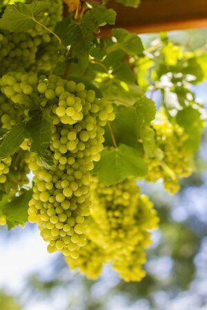 Closeup of greek green grapes