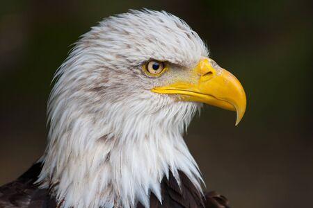 leucocephalus: Closeup of haliaeetus leucocephalus - Bald Eagle Stock Photo