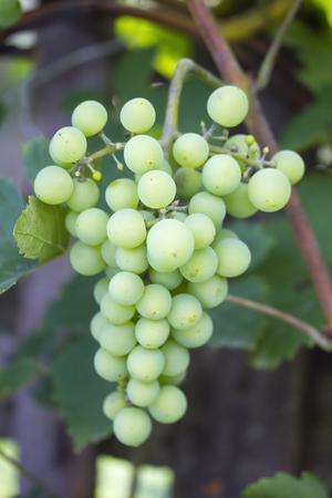 Closeup of growing green grapes