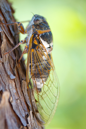 Closeup of a cicada sitting on a tree Stock Photo