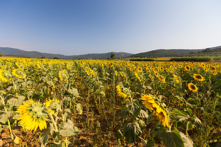 Sunflower fields in Tuscany, Italy Stock Photo
