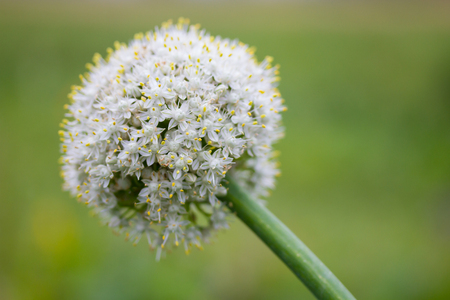 Closeup of an onion flower Imagens