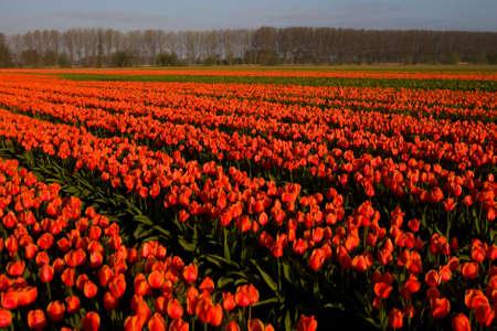 Tulip field in the Netherlands Archivio Fotografico