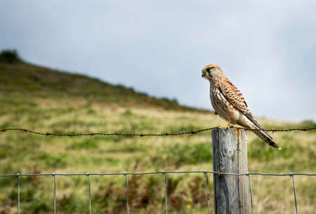 small bird of prey resting on a hawthorn fence looking for food with a green mountain background