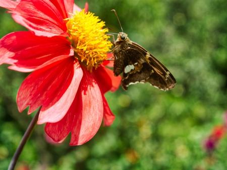 butterfly in dahlia