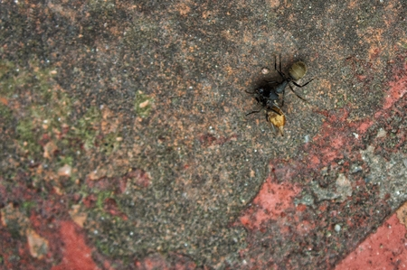 black ant with dead fly