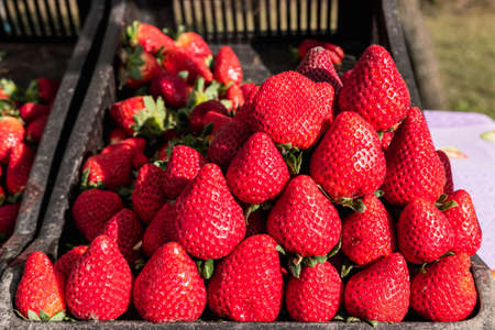Close-up of ripe red organic strawberries ready to sell at the market. Selective focus.