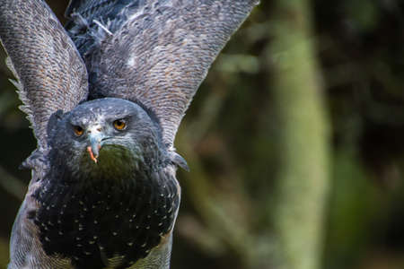 Close up portrait of a Black chested buzzard eagle Imagens