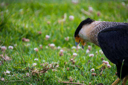 Close up of a Southern Crested Caracara